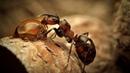 Картинка насекомое Муравей насекомое смола