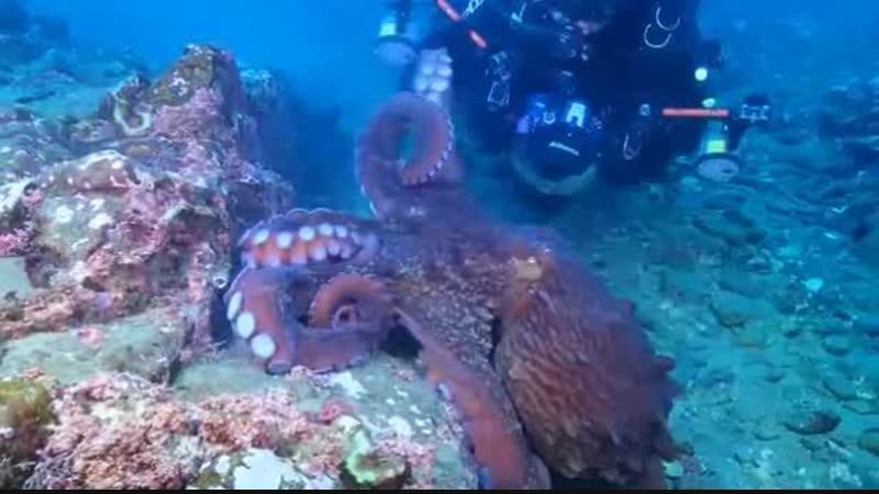 осьминог-грабитель