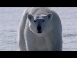 Polar Bear Hunting - The Polar Bear Family &amp Me - Episode 2 - BBC Two