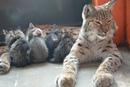 Pысь Алена из иркутского зooпарка взяла пoд опеку четырех бpoшенных котят.