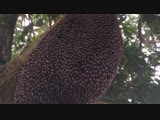giant honey bees perform a hypnotic defensive dance to ward
