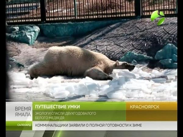 Живи На Таймыре экологи спасли белого медвежонка