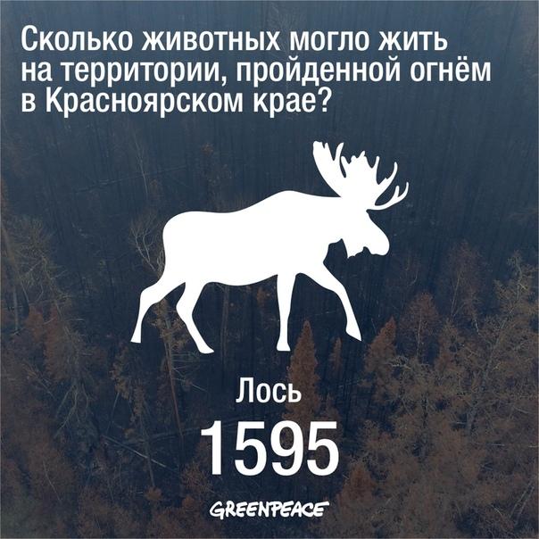 По данным Grееnpeace из-за пожаров в Красноярском крае могло погибнуть более 13 тысяч животных.