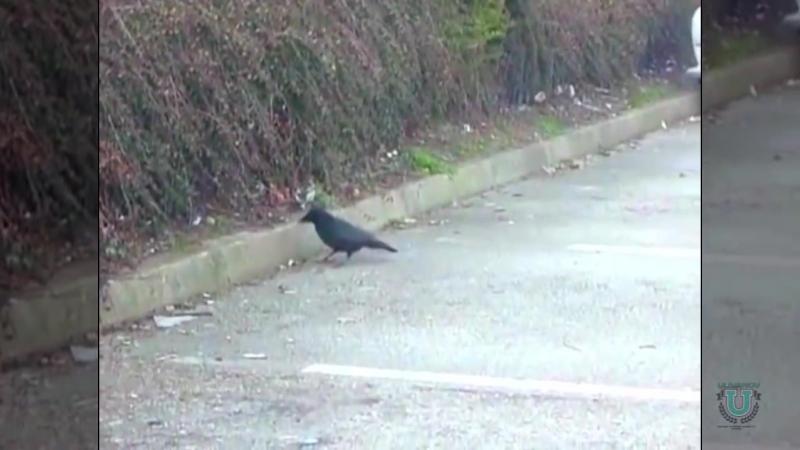 Умилительное видео о том как ворона накормила мышонка