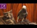 Прикол про попугая с котом.