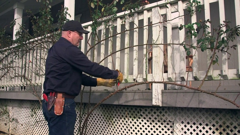 Pruning And Training Your Climbing Rose