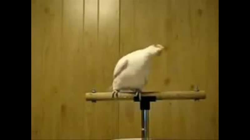 попугай любит DnB хорошее настроение смешное домашнее видео забавная птица танцует животное отрывается птаха дом тряска