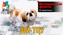 Ши-тцу - Интересные факты о породе | Собака породы ши-тцу