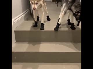 Хаски собираются на прогулку.