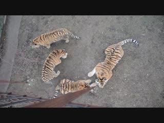 Наши тигры и немного о моем ютуб канале _)))