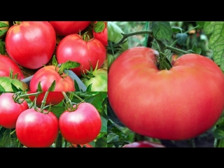 Во саду ли в огороде  •  Запишите, Чтобы Не Забыть! Очень Урожайные Томаты. Просто Чудо!
