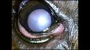Двусторонняя катаракта у собаки породы бивер