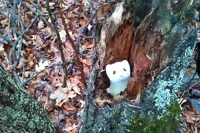 Michigan Mink says Hello