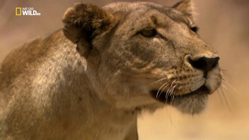 Львиное королевство 3 серия Кровная вражда