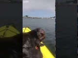 When an otter gets stuck on your kayak but it is so