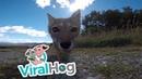 Лиса украла GoPro || ViralHog