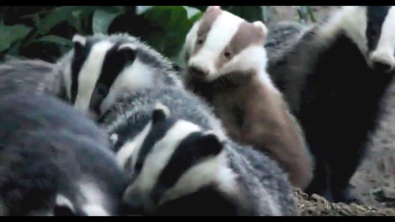 Erythristic Badger в семье