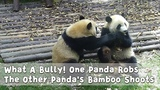 What A Bully!One Panda Robs The Other Panda's Bamboo Shoots iPanda
