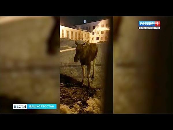 Заблудившемуся в Башкирии лосю спели колыбельную и отвезли домой