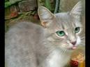 Cute gray cat pulls food/Милый серый котик лапкой достает еду