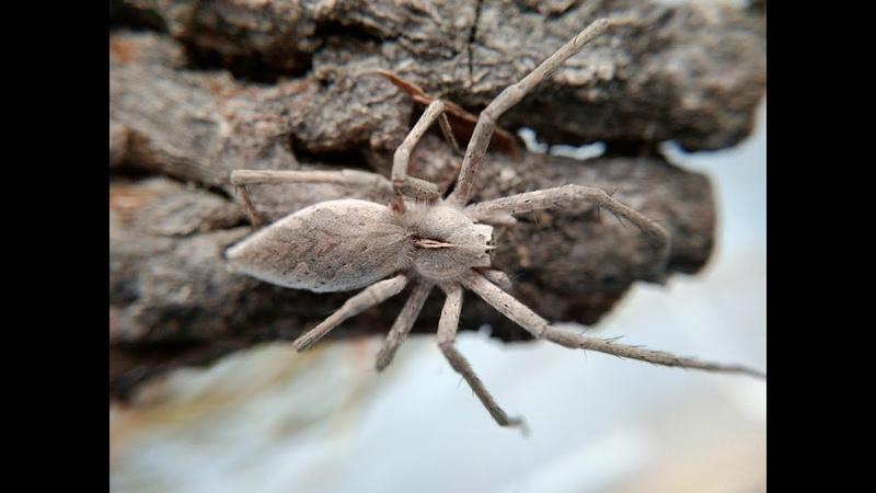 Pisaura Mirabilis Пизаура удивительная, кормление паука