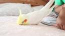 ASMR Massage Pet Bird Baby Birdie Drifting Off To Sleep No talking, only baby beeps