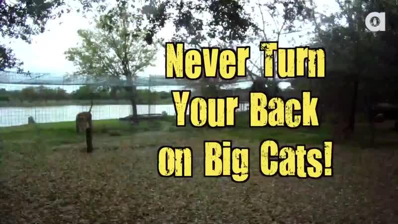 Никогда не поворачивайтесь спиной к большим кошкам
