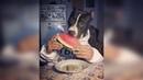 Питбуль собака кушает арбуз