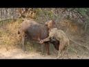 Leão leva surra de búfalo