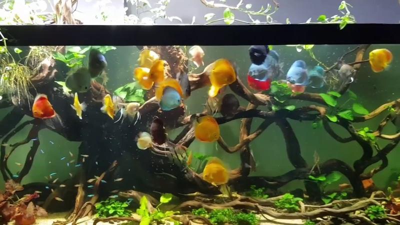 Gorgeous Discus Tank. Thanks Hòa Võ (Vietnam)
