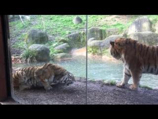 Не буди спящего тигра