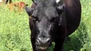 Сельский колорит Доение коров Rustic charm Milking cows