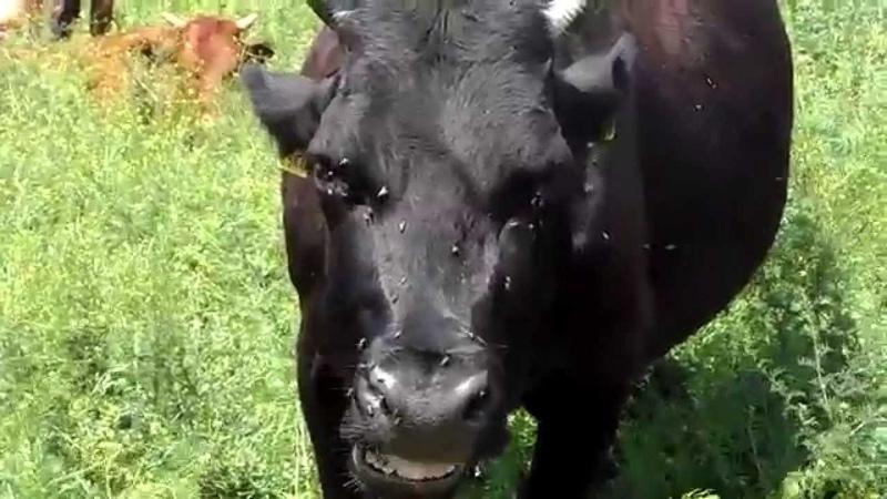 Сельский колорит. Доение коров. Rustic charm. Milking cows.