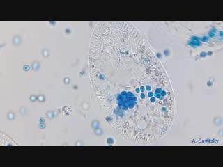 Инфузории paramecium sp. накормленные окрашенными дрожжами.