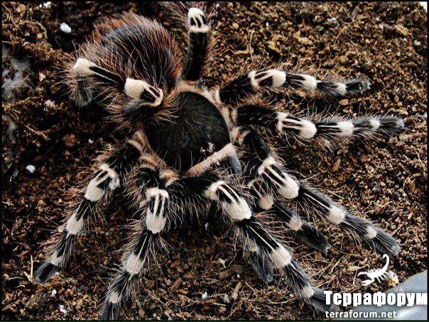 Acanthoscurria geniculata