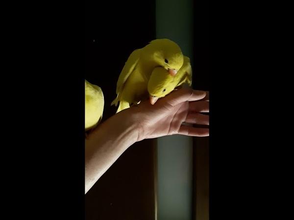 Ожереловый попугай птенцы выкормыши 2 месяца, окрас желтый или лютино