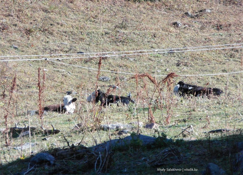 Коровы в Бутаковском ущелье Алматы