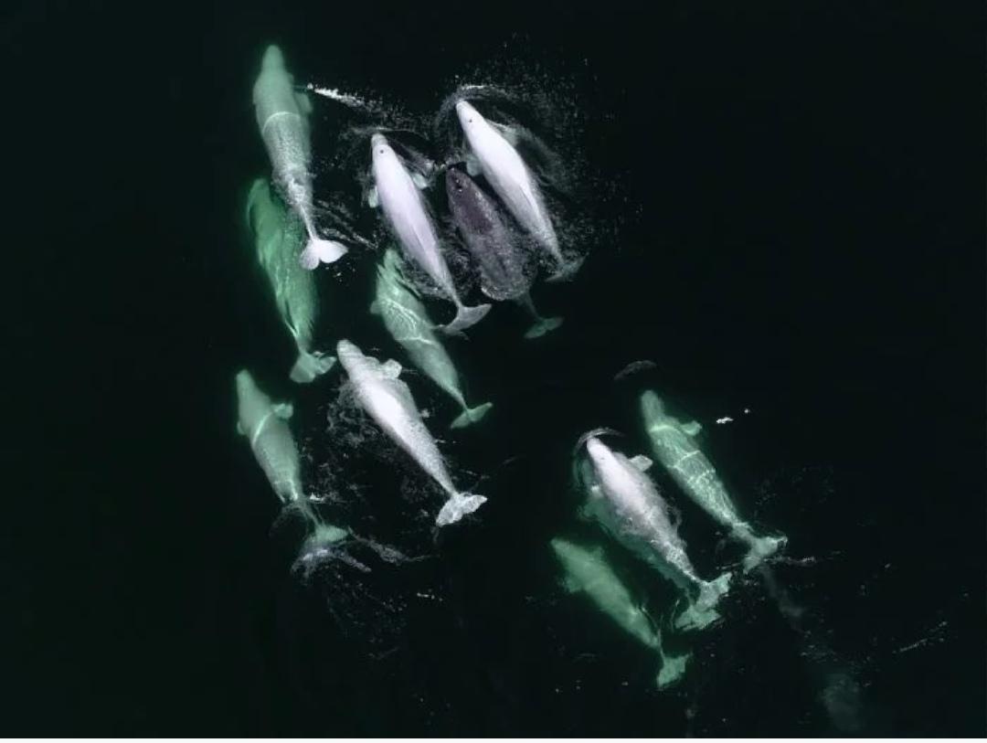 В Канаде стая китов-белух приютила осиротевшего нарвала.