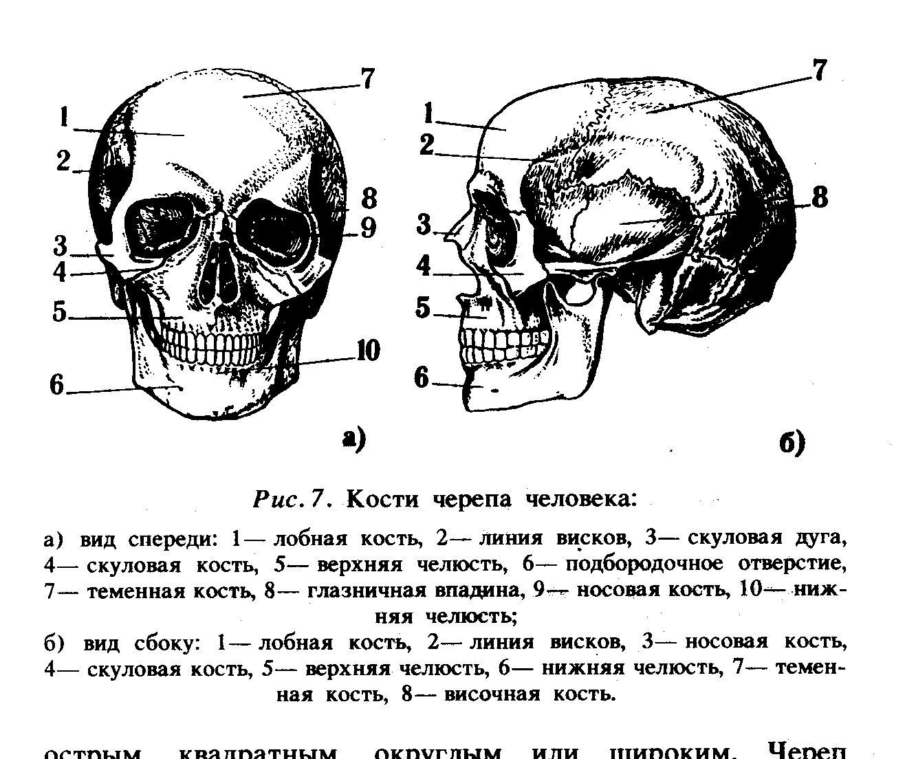 Череп человека с описанием картинки