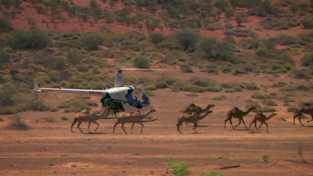 верблюды австралия