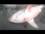 Акула в Дудинке