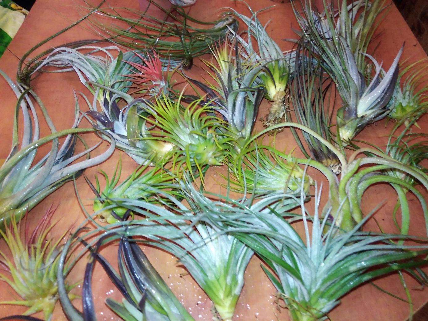Атмосферные растения (тилландсия) H8sWRhbzKkw