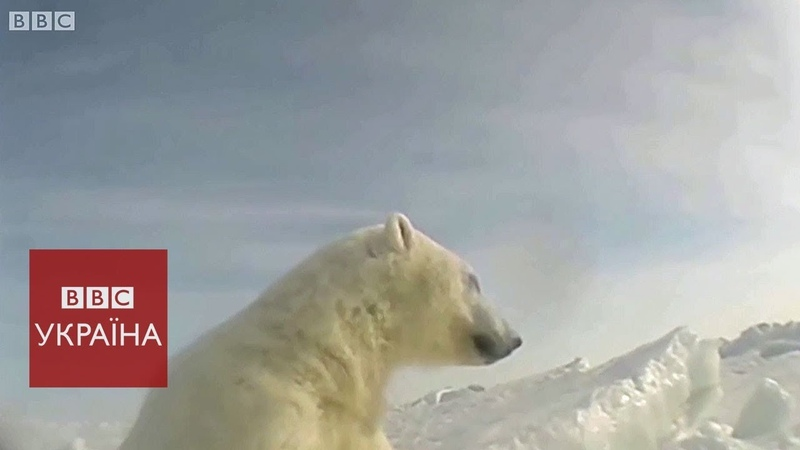 Білі ведмеді ледве животіють в Арктиці