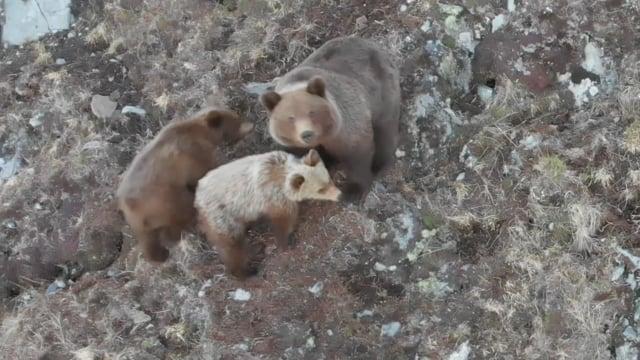 Bears of Magadan 2018