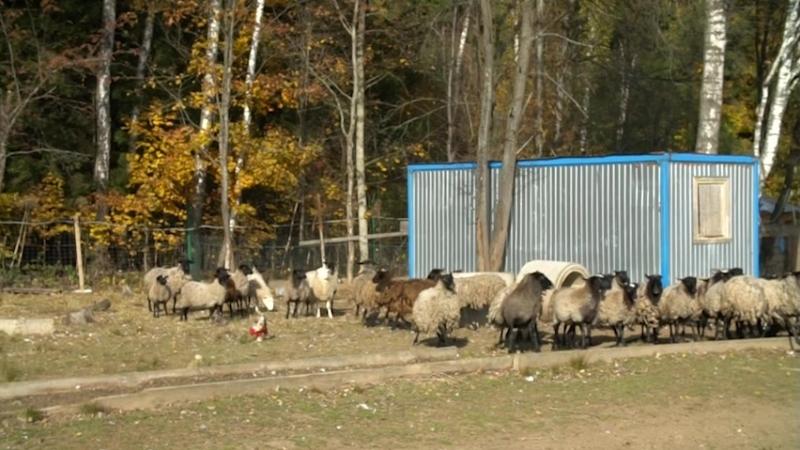 Ричард - Гроза овец --.mp4