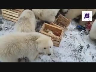 на Новой Земле ввели ЧП из-за нашествия белых медведей.