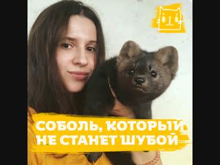 Девушка спасла соболя из зверофермы