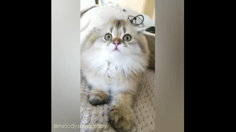 Шотландские котята питомник Melody Soul г Казань