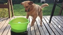 Buddy Fetches Without Human Help (Storyful, Dogs)