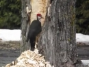 Woodpecker makes huge hole in tree